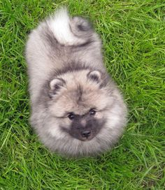 "Keeshond  Life Span: 12-15 years  Temperament: Smart dogs that are very cuddly. They are very expressive through their eyes. Great watch dogs, but friendly towards anyone, even potentially ""bad guys"". They are very willing to please."
