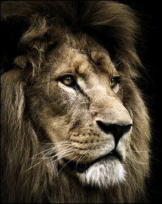 mufasa #Wildlife #Photography #Animals
