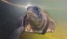 Tartaruga Tem Patas Amputadas e Volta a Nadar com Barbatanas Artificiais | Programa Território Animal