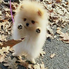 Adorable Little Baby Pomeranian Puppy having fun with the Autumn Leaves - Animals ~~Group Board - Tiny Puppies, Cute Dogs And Puppies, Doggies, Fluffy Puppies, Teacup Puppies, Puppies Tips, Boxer Puppies, Teacup Dog Breeds, Fluffy Dog Breeds