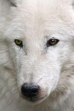 Wise White Wolf