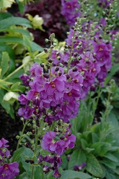 Verbascum Lavender Lass Lavender Plum Flower Spikes Perennial Plant Bees Butterflies 9cm Pot Free DELIVERY
