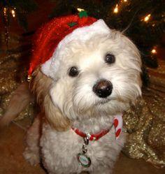 Maltipoo (looks like my dog Reese)