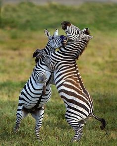 Two playful zebra colts African Animals, African Elephant, African Safari, Animals Of The World, Animals And Pets, Cute Animals, Nature Animals, Zebras, Zebra Pictures