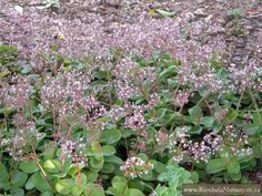 Crassula multicava - succ that takes shade Shade Garden, Garden Plants, House Plants, Plant Pictures, Sun Shade, Trees To Plant, Kate Owen, Garden Design, Cacti