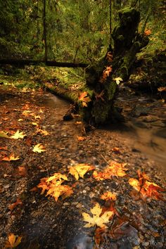 Maple Leaves in the Stream, Fall Creek by Itai Rom