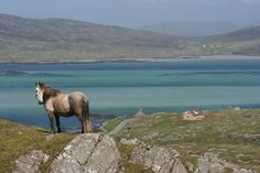 An Eriskay pony on Eriskay, towards the south end of the Outer Hebrides in Scotland. When it's fine here, the colours are matchless. We spent a glorious week one June in that (self-catering) house, right of centre in this pic.