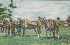 Postcard US army Mules in the field s-0521