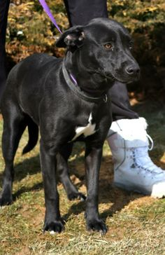 "This is ""ABIGAIL"" Petfinder  Adoptable | Dog | Labrador Retriever | Beckley, WV | Abigail"