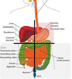 abdomen anatomy diagram i love the human body health. Black Bedroom Furniture Sets. Home Design Ideas