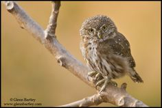Peruvian Pygmy Owl. Glenn Bartley Nature Photography - Peru 2011