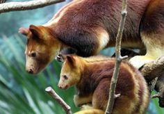 Goodfellow's Tree Kangaroo | The Animals Biography