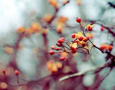 Nature Photography, Winter Berries Photograph, Winter Photo, Bare Branches, Blue Sky, Holiday Home Decor on Etsy, $30.00