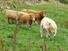The Charolais is a breed of taurine beef cattle from the Charolais area surrounding Charolles, in Burgundy, in eastern France. Charolais are raised for meat; they may be crossed with other breeds, including Angus and Hereford cattle.