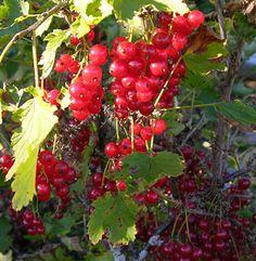 Ribes rubrum 'Katri', röda vinbär. FinE-sort. Katri är mutation på tyska sorten Rotes Wonder som i sin tur är förbättrad sort av röda holländska. Bild: MTT