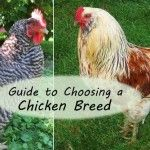 Guide to Choosing Chicken Breeds: Pick the Best Breeds for Your Flock