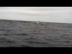 Clayoquot Ventures Whale Breaching on Tofino Fishing Charter