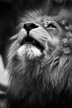 Lion - The CopyKats