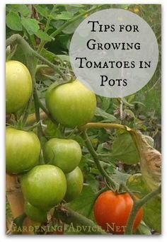 Growing Tomatoes In Pots is very easy. With these tips for growing tomatoes in containers and grow bags you will grow great tasting tomatoes! You can grow container tomatoes in conservatories, glassho Container Vegetables, Planting Vegetables, Organic Vegetables, Growing Vegetables, Container Plants, Container Gardening, Vegetable Gardening, Veggie Gardens, Growing Tomatoes Indoors