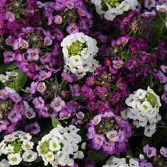 "Alyssum Clear Crystals Mix- Gardeners enjoy the larger, showier flowers of this tetraploid series along with the sweet fragrance typical of Alyssum. The low growing, 4-6"" mounded plants spread to 12 to 14"" wide. Clear Crystal White attracts bees, butterflies, and humming birds. #gardentrends #flowergarden #alyssum #flowers"