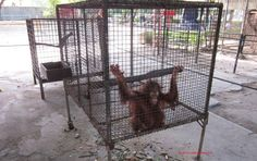 Surabaya Zoo Animal Welfare Action -   Baby Orangutan, Surabaya Zoo, INDONESIA - There was a whirlwind of media after Surabaya Zoo announced a new baby orangutan, named Damai. Not long after wards, baby Damai sat alone in this tiny cage at Surabaya Zoo begging for food and company. This is no life for this highly intelligent creature, this is no life for a baby dependent on its mother.
