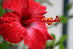 Growing hibiscus is an easy way to add a tropical flair to your garden. When you know how to care for hibiscus plants, you will be rewarded with many years of lovely flowers. Get tips on hibiscus care here. Tropical Flowers, Hibiscus Flowers, Exotic Flowers, Tropical Plants, Red Flowers, Beautiful Flowers, Hibiscus Garden, Outdoor Plants, Garden Plants