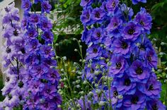 Zone 5 Gardening: Delphiniums   Actual link below:   http://www.almanac.com/plant/delphiniums  Delphiniums are a favorite of many gardeners and sometimes a challenge. They prefer moist, cool summers and do not fare well in hot, dry summers. The plants also dislike sudden wind or rain.     Except for the dwarf perennials, most delphiniums need staking.