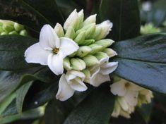 Daphne odora f. alba. 1m tall. Shade loving.