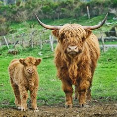 highland cows. can't get enough.