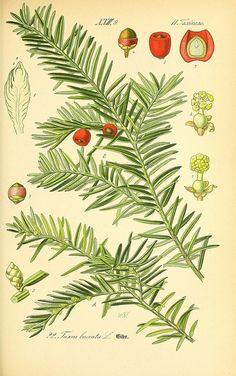 If commun ou If (Taxus baccata) Vintage Illustration, Gravure Illustration, Botanical Illustration, Botanical Drawings, Botanical Prints, Botanical Gardens, Yew Shrub, Taxus Baccata, Medicinal Plants