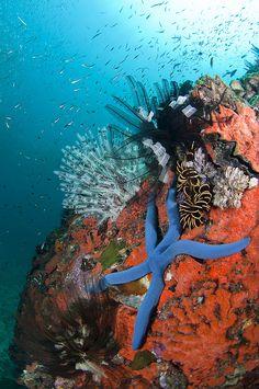 Sea star with school of silvery fish, Mayne Rock, West Coast of Sabah, Borneo, East Malaysia.