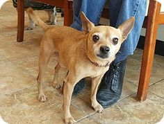 Pictures of Gary a Chihuahua for adoption in Oak Ridge, NJ who needs a loving home.