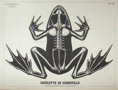 Les planches anciennes - Deyrolle squelette de Grenuoille