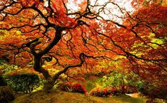 Picture of the Day: Japanese Maple at the Portland JapaneseGarden