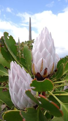 King Protea, with the 'Afrikaanse Taalmonument' (Paarl, South Africa) at the background. Stunning I grew up with fynbos and my home is Cape Town and I love Proteas. Unusual Flowers, Unusual Plants, Rare Flowers, Exotic Plants, Amazing Flowers, White Flowers, Beautiful Flowers, Protea Flower, Flower Pots