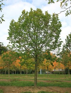 Practicality Brown - Tilia platyphyllos Rubra is a broadly columnar upright tree that won the Award of Garden Merit in 2002. It's a large leaved Lime whose young shoots are bri