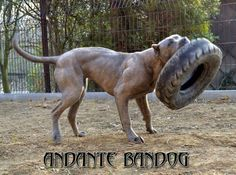Bandog Staff Terrier, Bull Terriers, Pitbull Terrier, Giant Dogs, Big Dogs, American Bandogge Mastiff, Bred Pit, Dog Games, Bull Dog
