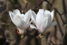 Magnolia soulangeana – valse tulpenboom of beverboom, de meest voorkomende soort, kan tot 8 m. hoog worden, bloeit wit lilapurper in knop, bloeit vroeg -> bij late nachtvorst beschadigen de bloemen.