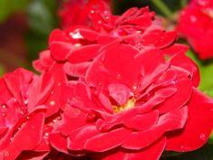 rosas rococo