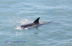 Dolphin around Ft Desoto Gulf Pier