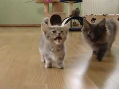 Cute munchkin baby kitten talks too much. Please more.