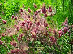 Geum Urbanum - Herb Bennet / Wood Avens