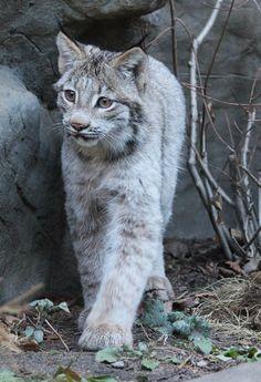 curious lynx cub