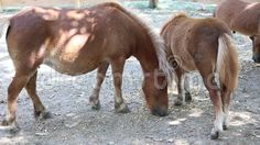 Video about Pony with cubs at shade in paddock. Video of clip, animal, funny - 77397906 Cubs, Pony, Royalty, Horses, Animals, Image, Pony Horse, Royals, Animales