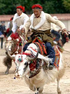 Tibetan Herders Race Yaks During The Shoton Festival - Tibet. CLICK to enlarge