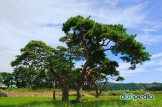 용천리 소나무