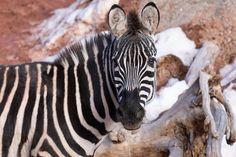 Cheyenne Mountain Zoo, Colorado Springs, Animals, Vintage, Animales, Animaux, Animal, Vintage Comics, Animais