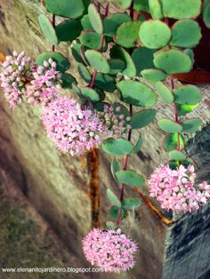 El enanito jardinero: Sedum Sieboldii