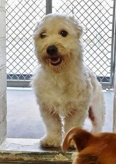 SAFE --- This little angel has a big smile that will make you smile too. He is great with his kennelmate and super sweet and friendly. Please take a look at him and SHARE, a FOSTER would ave his life. Thanks!  #A4797355 I'm an approximately 4 year old male west highland. I am not yet neutered. https://www.facebook.com/171850219654287/photos/pb.171850219654287.-2207520000.1423071135./367028596803114/?type=3&theater