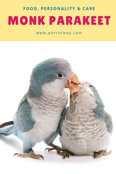 Quaker parrots (or monk parakeets) are known for their charming, comical personalities and their willingness to learn human speech. Parakeets, Cockatiel, Parrots, Monk Parakeet, Parrot Pet, Parrot Bird, Parrot Facts, Conure